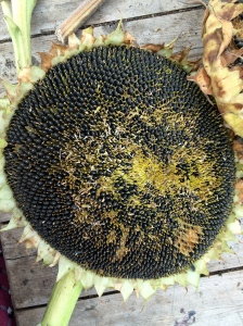 spent sunflower head