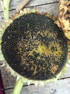 spent sunflower head